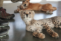 G08A4486.jpg (Mark Dumont) Tags: kris cincinnati baby cheetah zoo mark dumont cat mammal