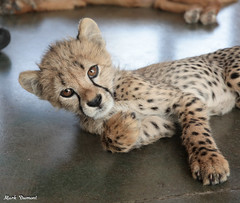 G08A4528.jpg (Mark Dumont) Tags: kris cincinnati baby cheetah zoo mark dumont cat mammal