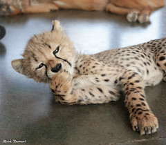G08A4530.jpg (Mark Dumont) Tags: kris cincinnati baby cheetah zoo mark dumont cat mammal
