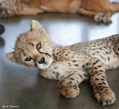 G08A4532.jpg (Mark Dumont) Tags: kris cincinnati baby cheetah zoo mark dumont cat mammal