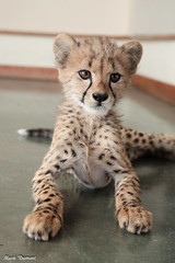 G08A4585.jpg (Mark Dumont) Tags: kris cincinnati baby cheetah zoo mark dumont cat mammal