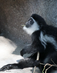 G08A4705.jpg (Mark Dumont) Tags: monkey zoo mark dumont colobus cincinnati