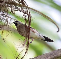 Finch (vguzman1120) Tags: fairchildtropicalbotanicalgarden bird nature nikon300mmf4 nikonlens nikond5300 nikon