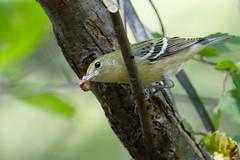 Bay-breasted Warbler (Daniel Weeks) Tags: baybreastedwarbler