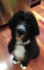 Meet Frankie ~ Bernedoodle puppy, 4 months old ~ Explore (shireye) Tags: frankie bernedoodle puppy dog