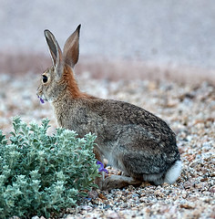 09222019000023978 (Verde River) Tags: rabbit rabbits nature bird birds gambelsquail