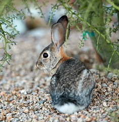 09222019000023942 (Verde River) Tags: rabbit rabbits nature bird birds gambelsquail