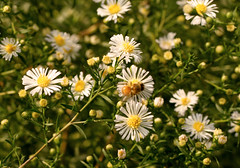 Asters (with bee) (Shotaku) Tags: garden flowers flower asters aster bees bee insects insect plants plant blooms blooming