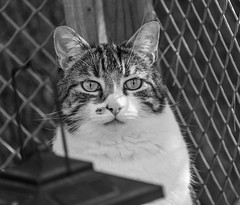 Spyder curiousity (Picture-Perfect Cats) Tags: fencebackground lantern spyder tabby blackandwhite cat portrait