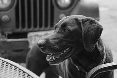 Dog - Lake City, Colorado (BeerAndLoathing) Tags: dogs usa rp tongue blackwhite canon lakecity jeep summer fur roadtrip trips furry dog rf24105mmf4lisusm august canoneosrp animals bw 2019 pagosaspringstrip colorado blackandwhite