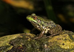 Why Not a Fairy Tale? (Slow Turning) Tags: ranaclamitans greenfrog amphibian sitting rock profile pond woods summer southernontario canada