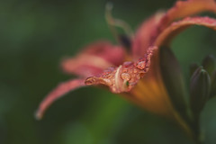 secret place (rockinmonique) Tags: lily flower bloom blossom petal orange green rain drop macro bokeh caribooregion moniquewphotography canon canont6s tamron tamron45mm copyright2019moniquewphotography