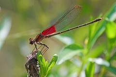 American Rubyspot (Kristy_Baker) Tags: dragonfly jewelwing rubyspot predator stream bug insect wings wildlife nature fauna murfreesboro tennessee tn panasonic lumix g9 100400