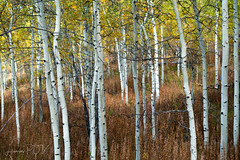 Shadow Mountain Aspens (laura's Point of View) Tags: aspen aspens trees fall autumn seasons gold leaves foliage shadowmountain bridgertetonnationalforest tetons wyoming unitedstates west western beautiful nature mothernature wilderness forest color lauraspov lauraspointofview