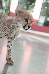 G08A4133.jpg (Mark Dumont) Tags: kris cincinnati baby cheetah zoo mark dumont cat mammal
