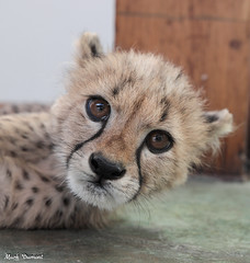 G08A4258.jpg (Mark Dumont) Tags: kris cincinnati baby cheetah zoo mark dumont cat mammal