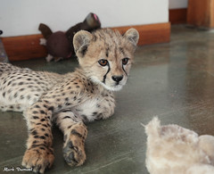 G08A4392.jpg (Mark Dumont) Tags: kris cincinnati baby cheetah zoo mark dumont cat mammal
