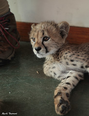 G08A4398.jpg (Mark Dumont) Tags: kris cincinnati baby cheetah zoo mark dumont cat mammal
