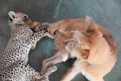 G08A4417.jpg (Mark Dumont) Tags: kris cincinnati baby cheetah zoo mark dumont cat mammal