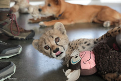 G08A4462.jpg (Mark Dumont) Tags: kris cincinnati baby cheetah zoo mark dumont cat mammal