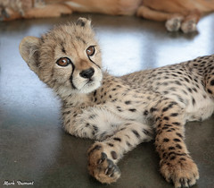 G08A4547.jpg (Mark Dumont) Tags: kris cincinnati baby cheetah zoo mark dumont cat mammal