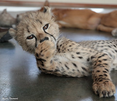 G08A4559.jpg (Mark Dumont) Tags: kris cincinnati baby cheetah zoo mark dumont cat mammal