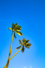 Two Palms (adamopal) Tags: canon canon5d canon5dmkiii canon5dmarkiii twopalms two palms palmtrees trees nature oahuisland hawaii visithawaii clearblueday islandlife lookingup blue cyan green brown tan