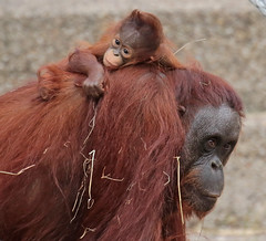 Orangutan Tjintha and Minggu Ouwehand 094A1317 (j.a.kok) Tags: animal aap asia ape azie mammal monkey mensaap ouwehands orangutan orangoetan ouwehandsdierenpark orang zoogdier dier primate primaat tjintha minggu motherandchild moederenkind