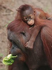 Orangutan Tjintha and Minggu Ouwehand 094A1395 (j.a.kok) Tags: animal aap asia ape azie mammal monkey mensaap ouwehands orangutan orangoetan ouwehandsdierenpark orang zoogdier dier primate primaat tjintha minggu motherandchild moederenkind