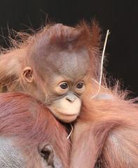 Orangutan Tjintha and Minggu Ouwehand 094A1389 (j.a.kok) Tags: animal aap asia ape azie mammal monkey mensaap ouwehands orangutan orangoetan ouwehandsdierenpark orang zoogdier dier primate primaat tjintha minggu