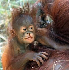 Orangutan Minggu Ouwehand 094A0896 (j.a.kok) Tags: animal aap asia ape azie mammal monkey mensaap ouwehands orangutan orangoetan ouwehandsdierenpark orang zoogdier dier primate primaat tjintha minggu