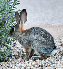 09222019000023946 (Verde River) Tags: rabbit rabbits nature bird birds gambelsquail