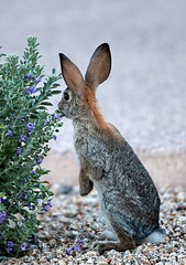 09222019000023949 (Verde River) Tags: rabbit rabbits nature bird birds gambelsquail