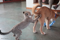 G08A4178.jpg (Mark Dumont) Tags: kris cincinnati baby cheetah zoo mark dumont cat mammal