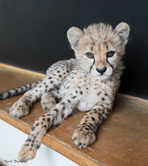 G08A4238.jpg (Mark Dumont) Tags: kris cincinnati baby cheetah zoo mark dumont cat mammal
