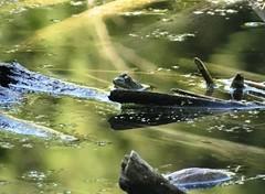Sunday's frog (EcoSnake) Tags: americanbullfrog lithobatesctesbeiana frogs amphibians fallequinox september idahofishandgame naturecenter