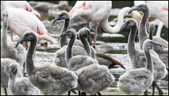 _SG_2019_06_3007_IMG_5135 (_SG_) Tags: flamingo kopf head rosa pink flamingoes phoenicopterus tiere animals tier wildlife new born nachwuchs