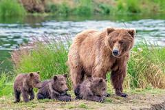 Mama bear with her young cubs (Tom Fenske Photography) Tags: katmai bears cubs grizzlies brown wildlife alaska brookslodge brooksfalls nps nationalpark wilderness nature