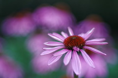 Echinacea (Patrice StG) Tags: échinacée echinacea fleur pourpre flower purple québec boisdecoulonge cosinon55mmf21 pentax pentaxart kp bokeh vintagelens vintage