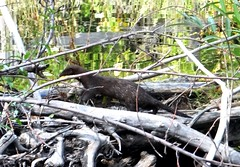 Mink (EcoSnake) Tags: mink wildlife september quick idahofishandgame naturecenter