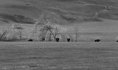 American Bison Grazing Along the Hillsides and Flynn Creek (Black & White, Custer National Park) (thor_mark ) Tags: alongroadside americanbison azimuth214 bison bisonbison blackwhite blackhills capturenx2edited colorefexpro custerstatepark grassyarea grassyfield grassymeadow greatplains herdofbison hillsideoftrees hillsides hillsidesindistance hillsidesoffindistance landscape lookingssw meadows nature nikond800e northamericaplains outside pahásápa plainsbison portfolio project365 roadsidepulloff rollinghillsides southernblackhills trees wildlifeloop wildlifelooproad wildlifeloopstatescenicbyway southdakota unitedstates