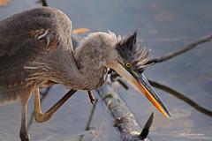 Grand héron (Marie-Josée Lévesque) Tags: nature faune wildlife oiseau bird heron grandhéron québec eau water lac lake