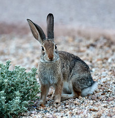 09222019000023952 (Verde River) Tags: rabbit rabbits nature bird birds gambelsquail