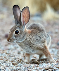 09222019000024018 (Verde River) Tags: rabbit rabbits nature bird birds gambelsquail