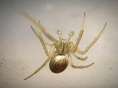 Larinius borealis-The Alberta Version (Forgotten Corner Photo) Tags: orbweaver spider