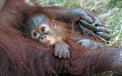 Orangutan Minggu Ouwehand 094A0440 (j.a.kok) Tags: animal aap asia ape azie mammal monkey mensaap ouwehands orangutan orangoetan ouwehandsdierenpark orang zoogdier dier primate primaat tjintha minggu