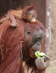 Orangutan Tjintha and Minggu Ouwehand 094A1372 (j.a.kok) Tags: animal aap asia ape azie mammal monkey mensaap ouwehands orangutan orangoetan ouwehandsdierenpark orang zoogdier dier primate primaat tjintha minggu motherandchild moederenkind