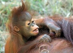 Orangutan Minggu Ouwehand 094A0909 (j.a.kok) Tags: animal aap asia ape azie mammal monkey mensaap ouwehands orangutan orangoetan ouwehandsdierenpark orang zoogdier dier primate primaat tjintha minggu