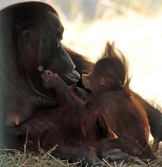 Orangutan Tjintha and Minggu Ouwehand 094A1904 (j.a.kok) Tags: animal aap asia ape azie mammal monkey mensaap ouwehands orangutan orangoetan ouwehandsdierenpark orang zoogdier dier primate primaat tjintha minggu motherandchild moederenkind