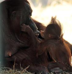 Orangutan Tjintha and Minggu Ouwehand 094A1906 (j.a.kok) Tags: animal aap asia ape azie mammal monkey mensaap ouwehands orangutan orangoetan ouwehandsdierenpark orang zoogdier dier primate primaat tjintha minggu motherandchild moederenkind